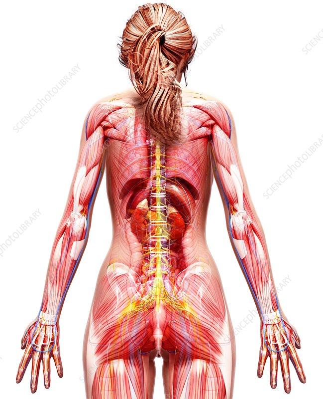 Female back anatomy
