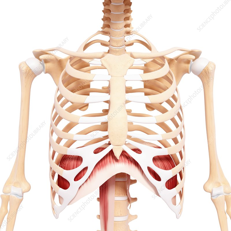 Human musculature, artwork - Stock Image F007/2624 - enlarged ...