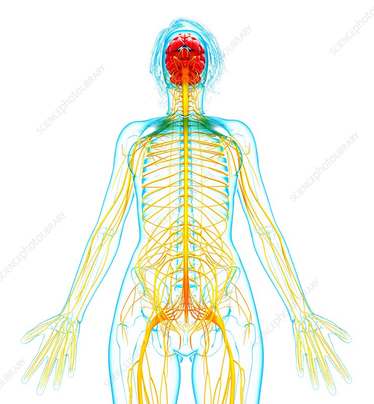 Urea Cycle Dr Veerendra furthermore Smith Forefront additionally Spinocerebellum also Anatomy In Right Lower Abdomen also Enlarge. on brain body system