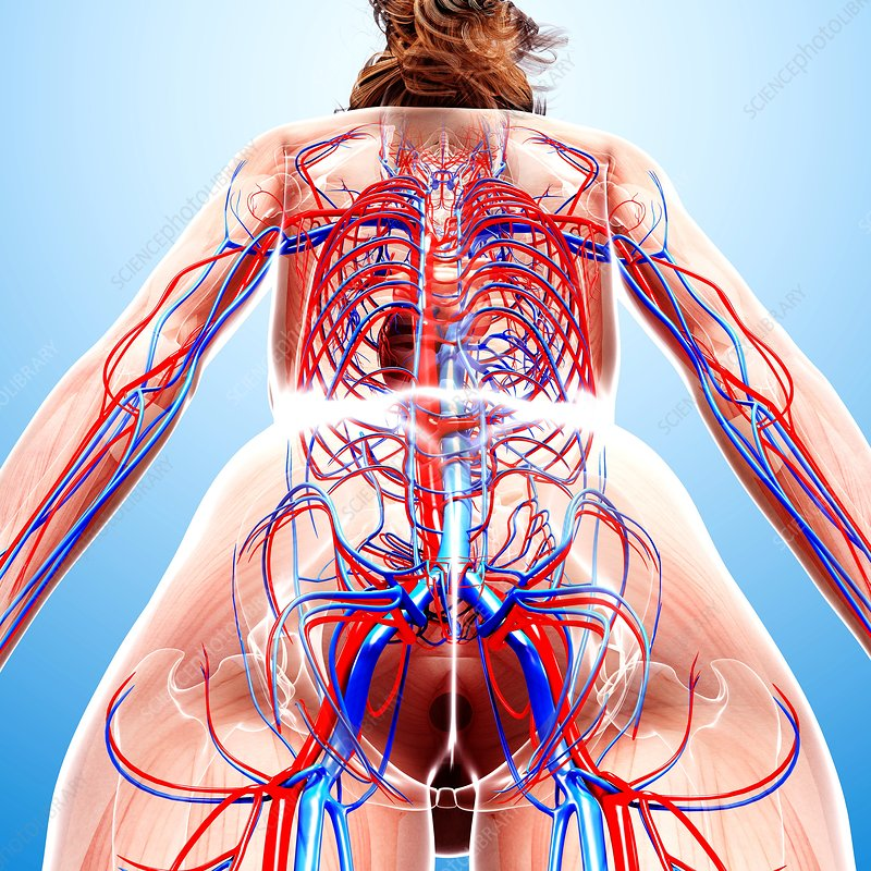 Human Diagram Of Organs Diagram Of The Human Body Organs  uocodac together with Blood Biology KR1cjIwNPatjO besides 57357 crayfish likewise Dissections cat circulatory system veins moreover Enlarge. on circulatory system com