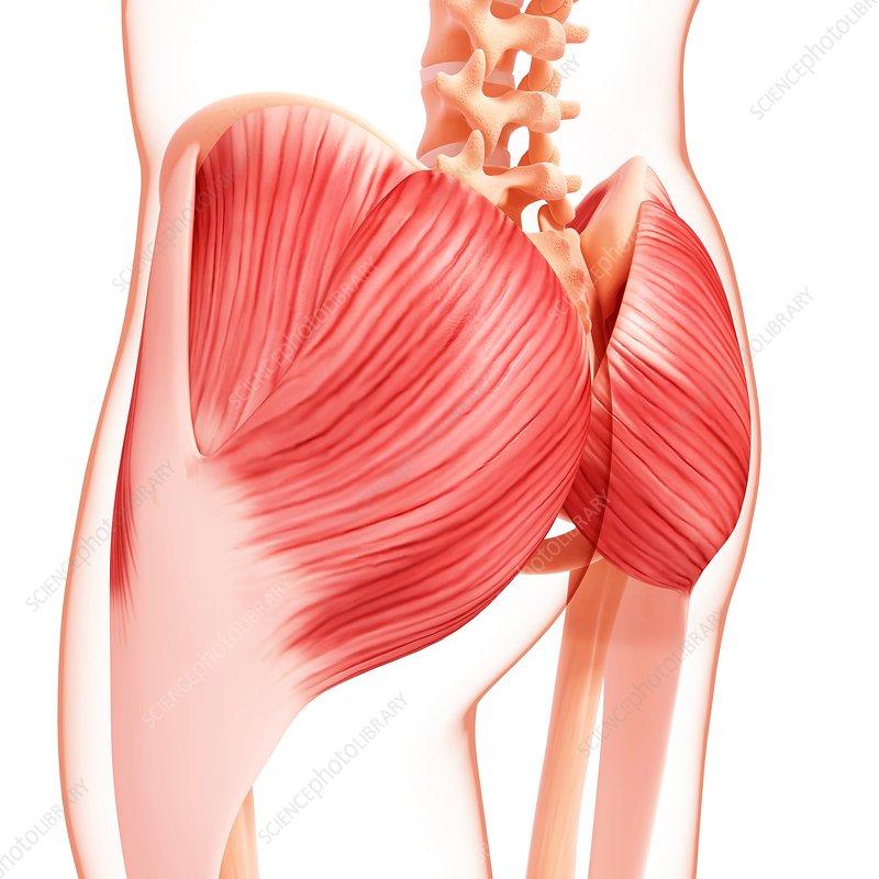 Human hip musculature, artwork - Stock Image F007/4238 - enlarged ...