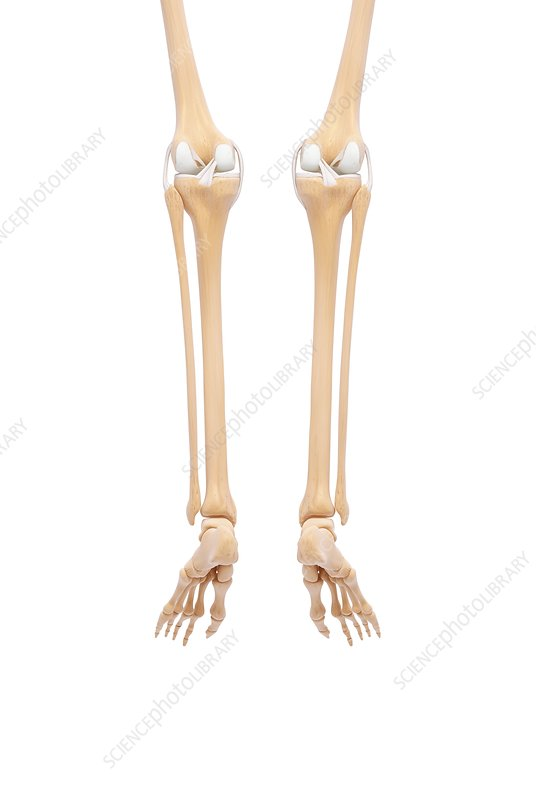 Human leg bones, artwork - Stock Image F007/4241 - Science Photo Library