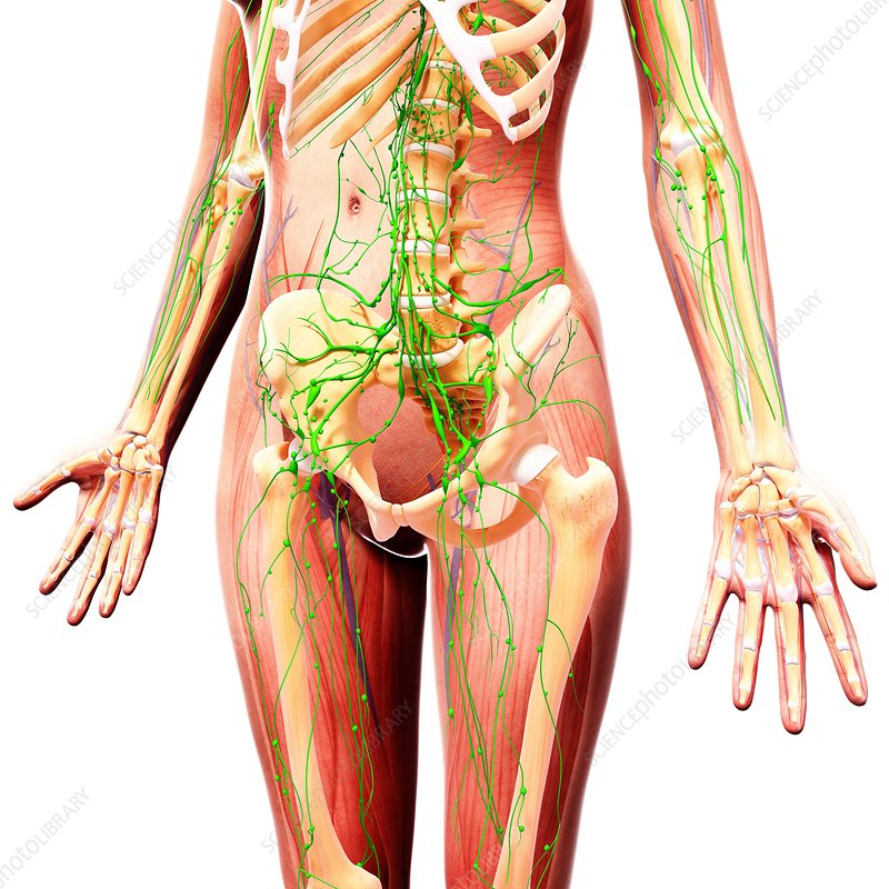 Human lymphatic system, artwork