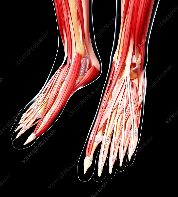 Human foot musculature, artwork