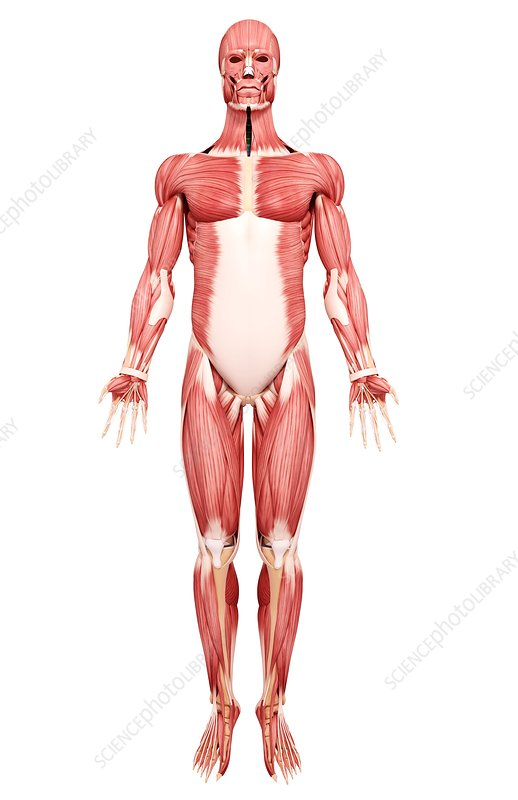Human musculature, artwork