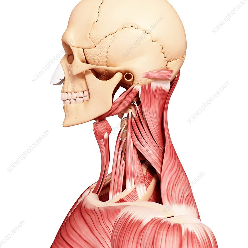Human head musculature, artwork