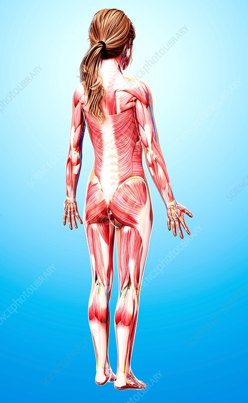 Female musculature, artwork