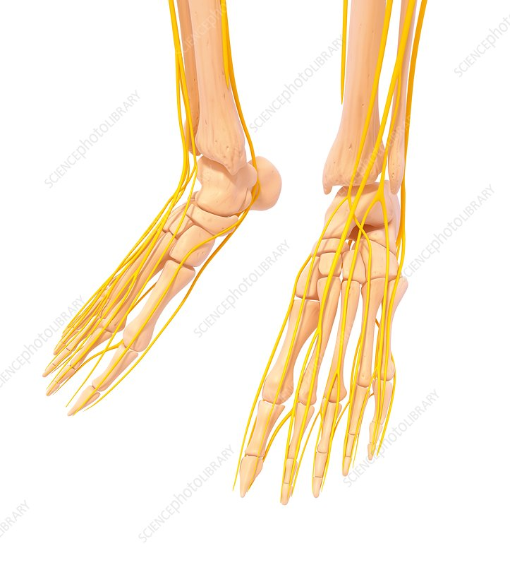 Human foot nervous system, artwork