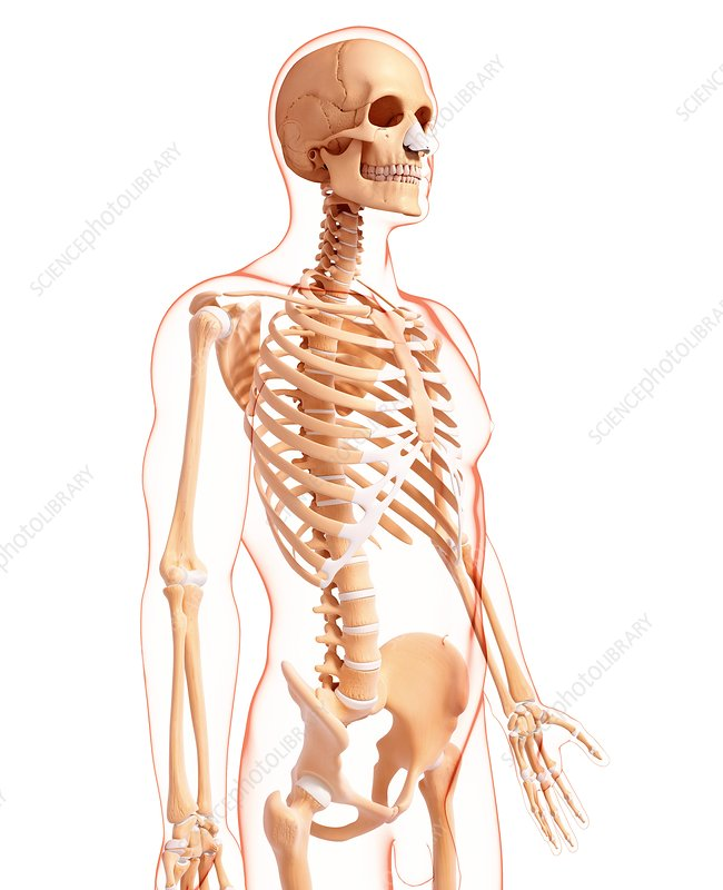 Male skeleton, artwork