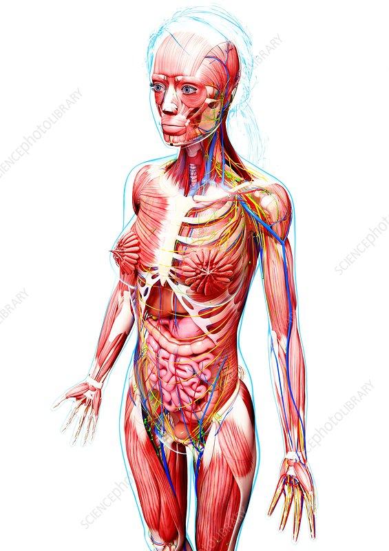 Photo female anatomy