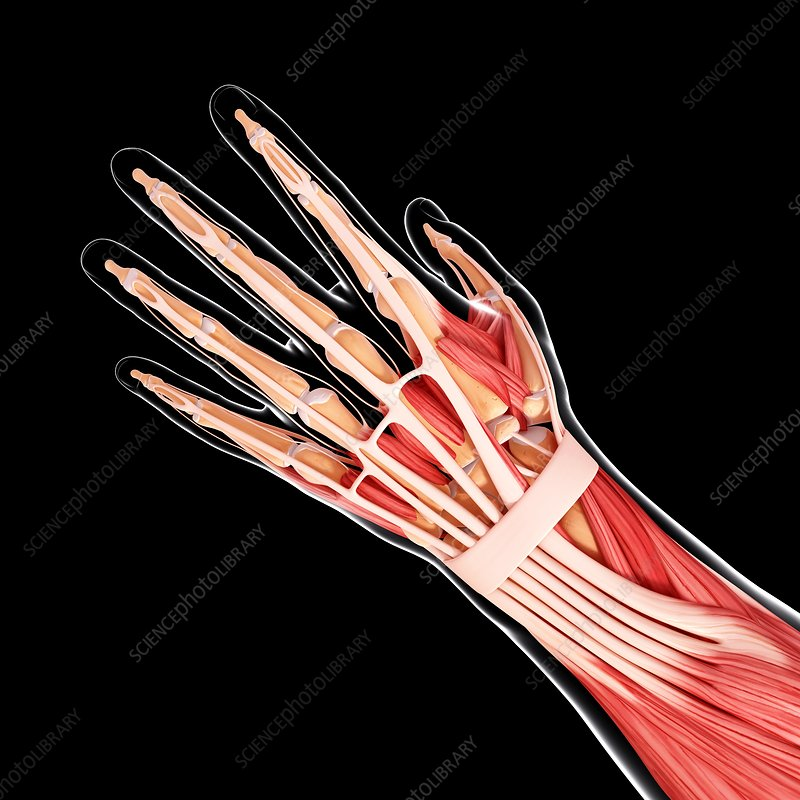 Human arm musculature, artwork