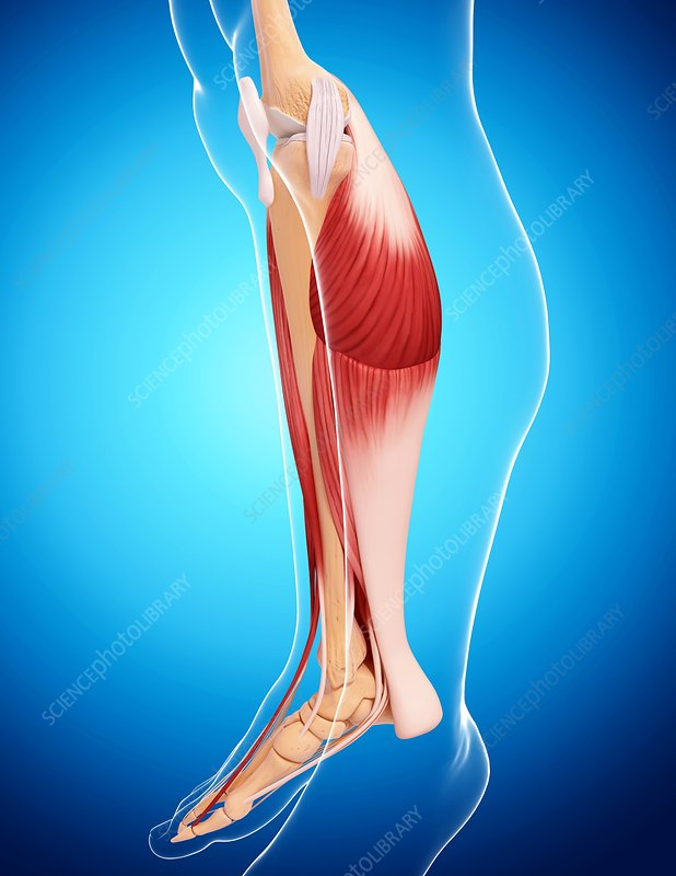 Human leg musculature, artwork