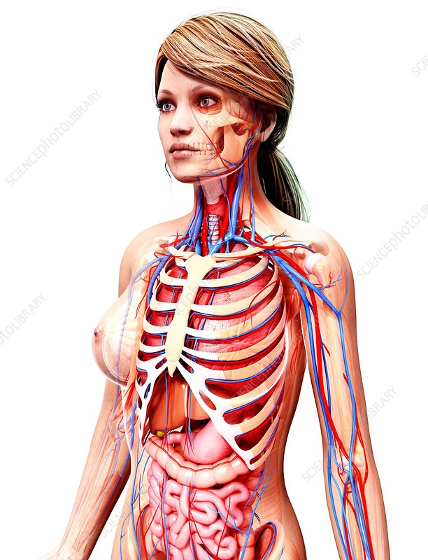 anatomy bibliography Description this course is an introduction to human anatomy and physiology for students planning careers in medicine or the allied health professions.