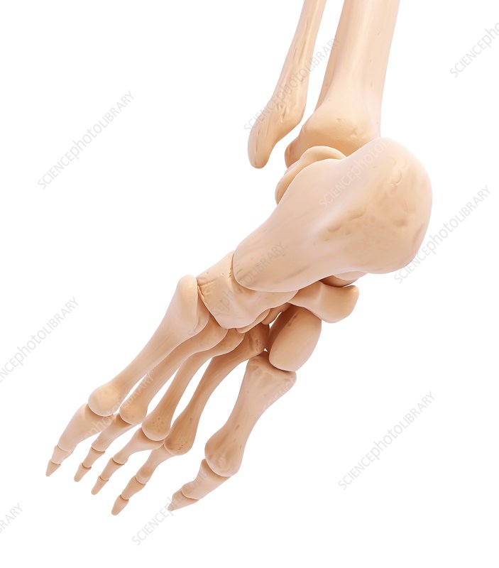 Human foot bones, artwork