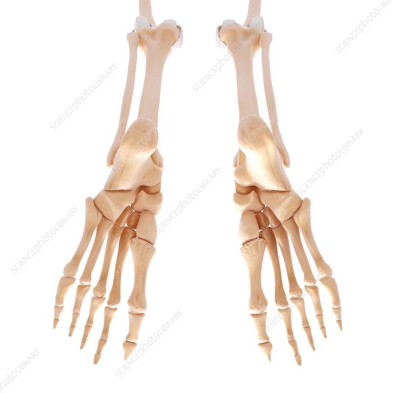 Human leg bones, artwork - Stock Image F007/5577 - Science Photo Library