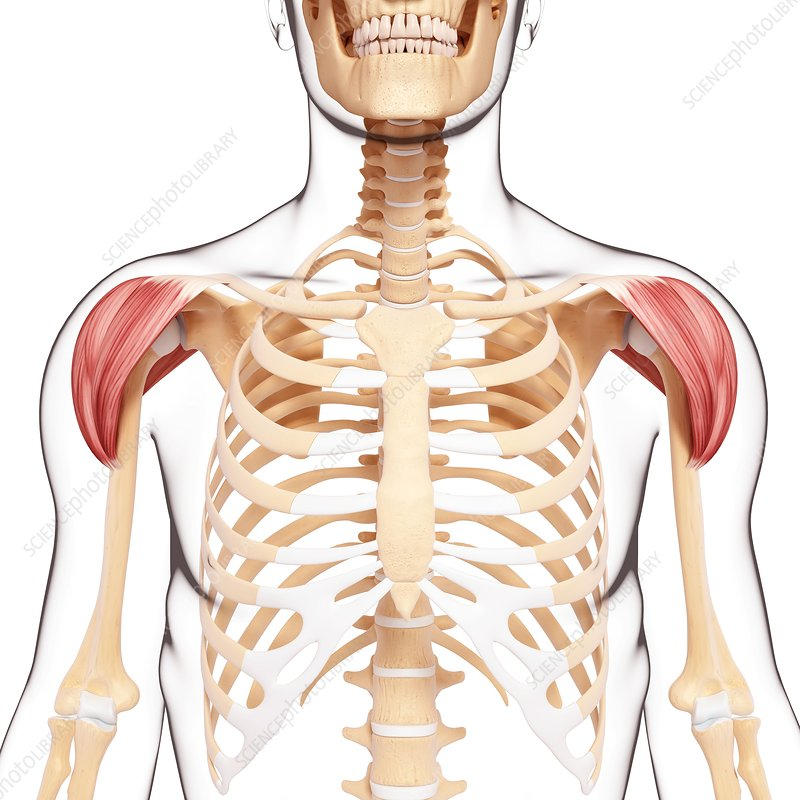Human shoulder musculature, artwork