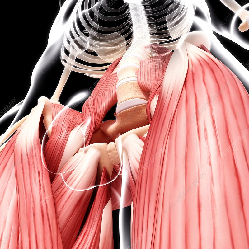 Human hip musculature, artwork