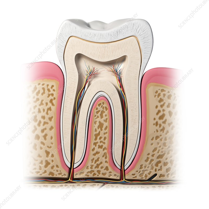 Healthy tooth, artwork