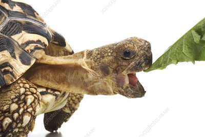 Leopard tortoise eating