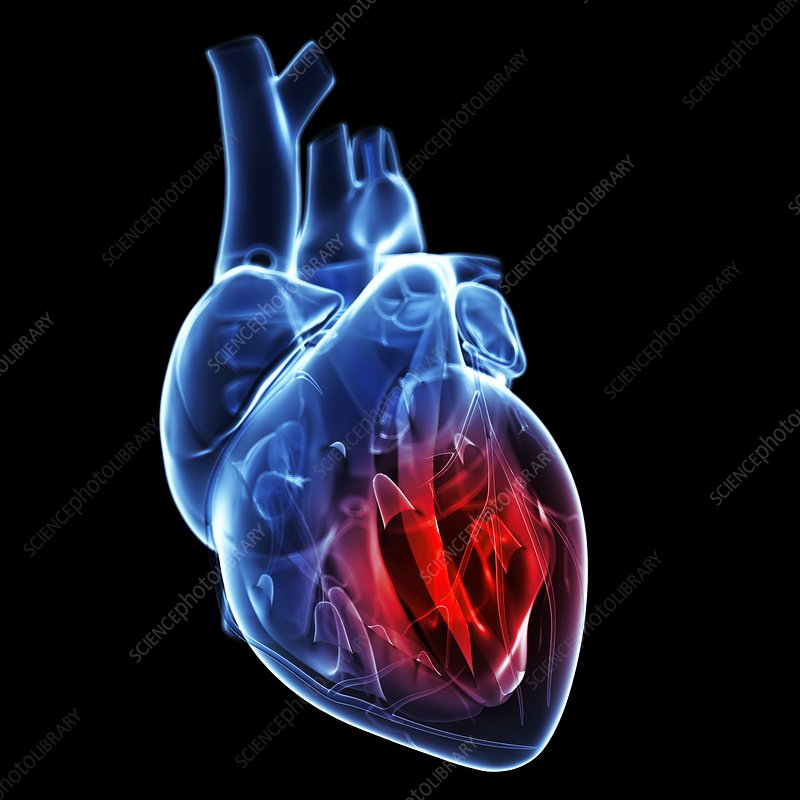 Free Anatomy Powerpoint Templates besides Organ System Overview Worksheet Circulatory System Overview Anatomy Body Charts 2 in addition Human Heart And Its Function Heart Wikipedia as well Body Diagram Of Arteries besides Labeled Heart Model Anatomy Heart Gross Anatomy. on blood circulatory system