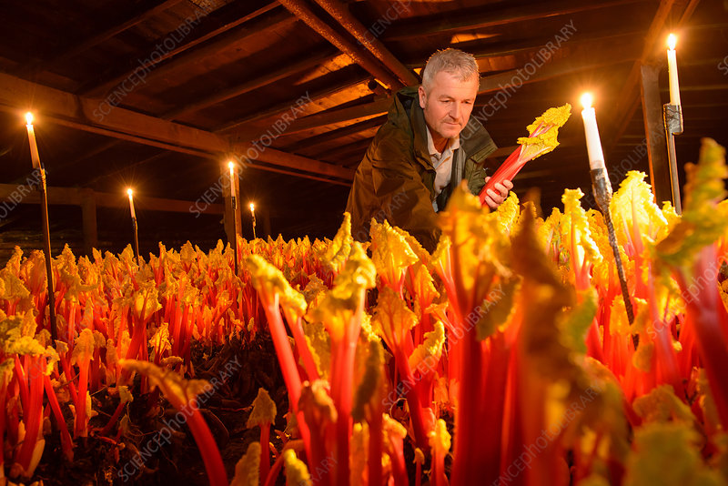 Farmer picking rhubarb in candlelit barn