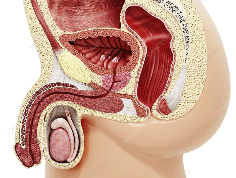 Enlarged prostate, artwork - Stock Image F008/0767 - enlarged ...