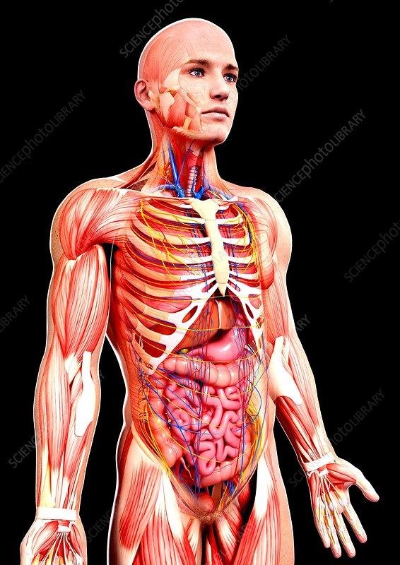 Male anatomy, artwork - Stock Image F008/1377 - Science