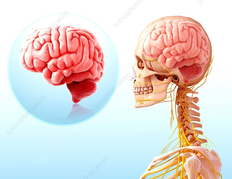 Human brain anatomy, artwork
