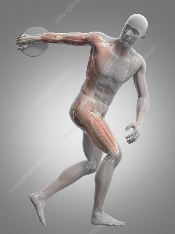 Male musculature, artwork