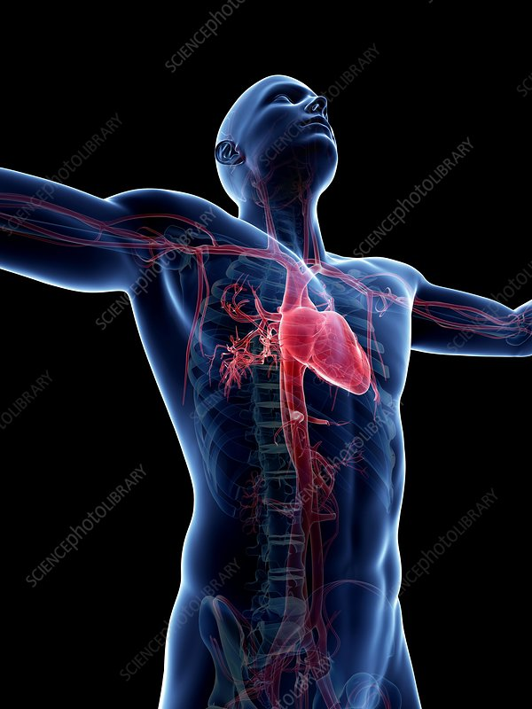 Male cardiovascular system, artwork