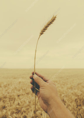Human hand holding a stalk of wheat