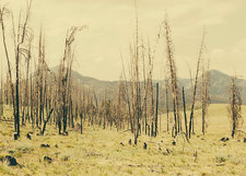 Fire damaged trees in a national forest