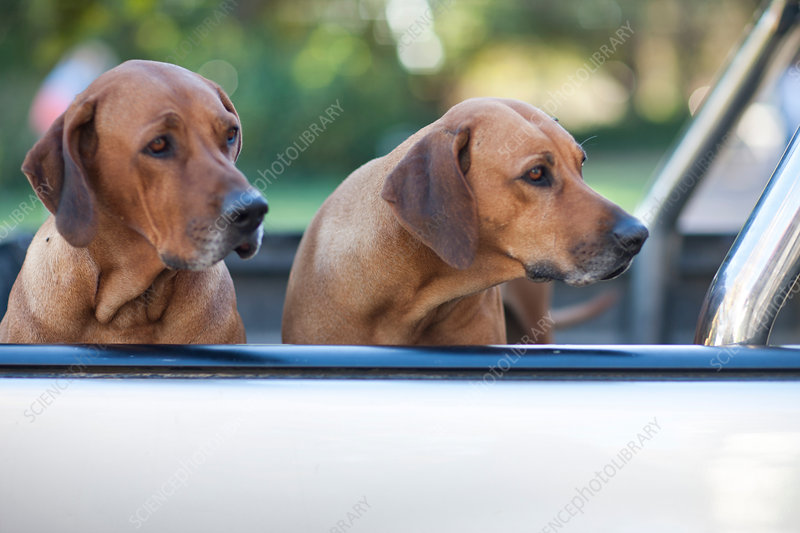 Two dogs in pick up truck