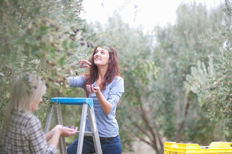 Picking olives in olive grove