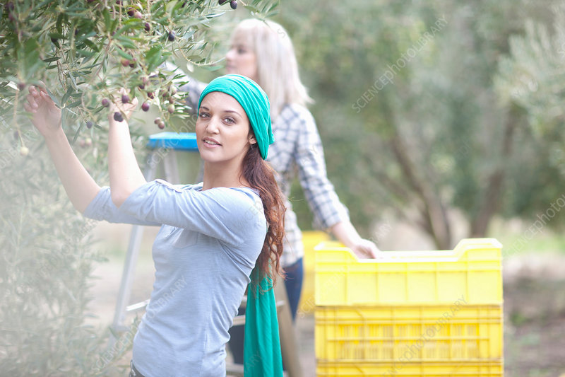 Two women picking olives in olive grove