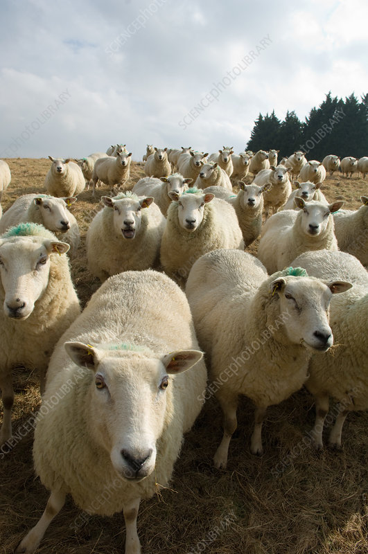 Close up of flock of sheep