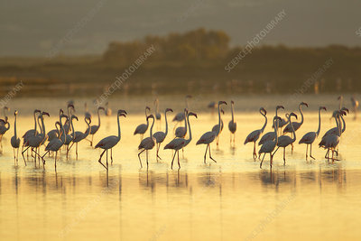 Large group of flamingos, Sardinia, Italy