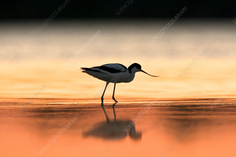 Avocet at dawn, Sardinia, Italy