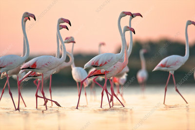 Group of flamingos at dawn, Italy