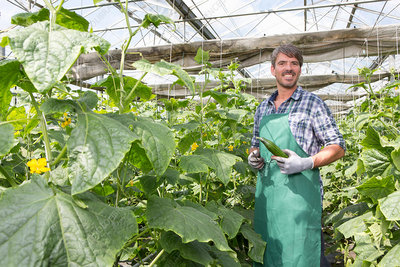 Farmer harvesting cucumbers in polytunnel