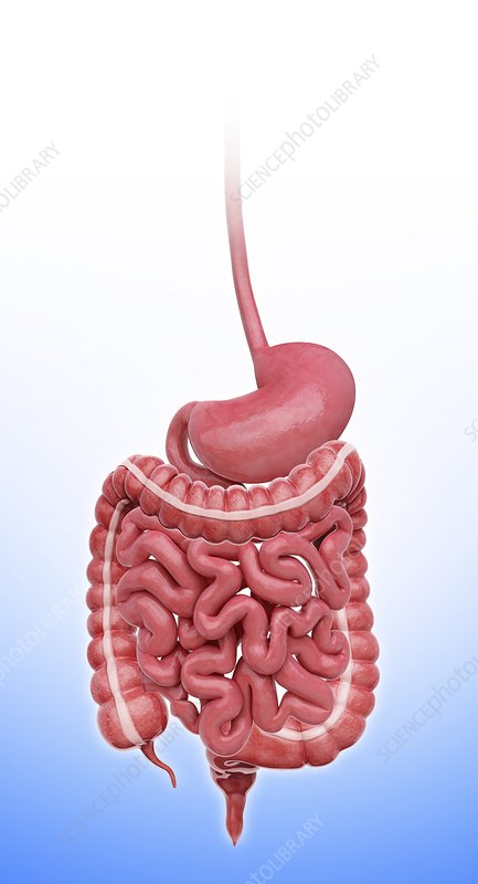 Human stomach, artwork