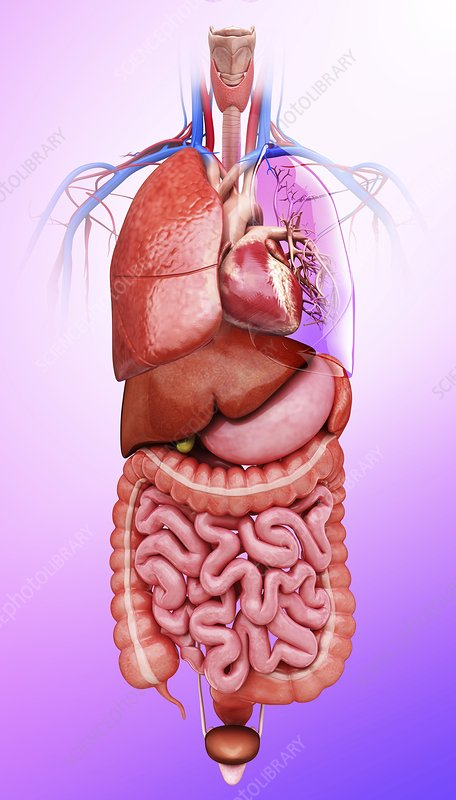 Human internal organs, artwork