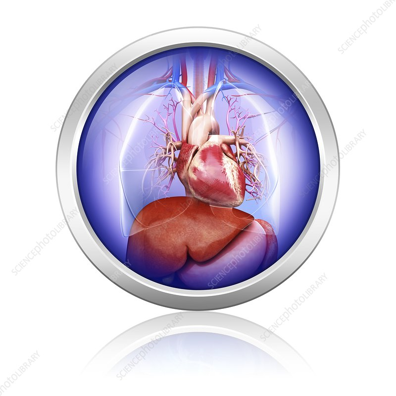 Human heart and liver, artwork
