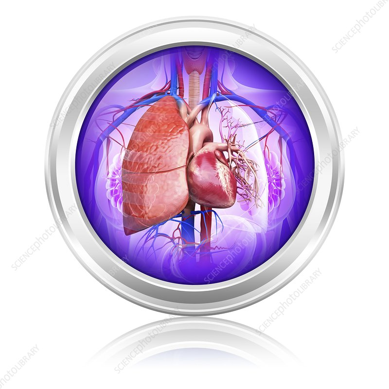 Human lungs and heart, artwork
