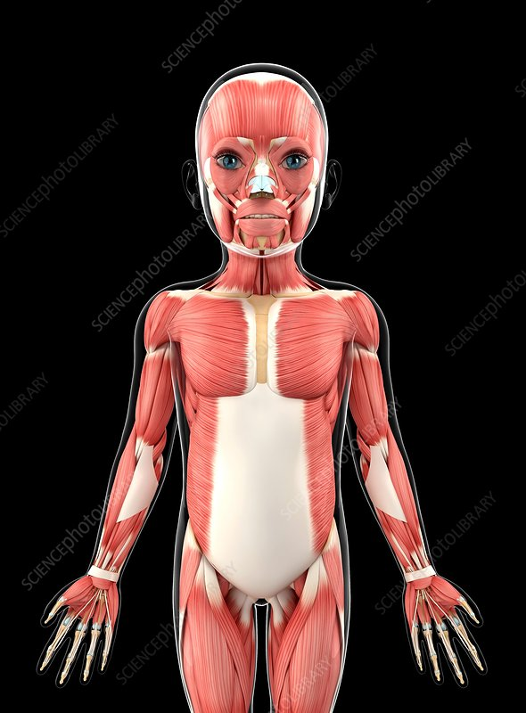 Child's muscular system, artwork