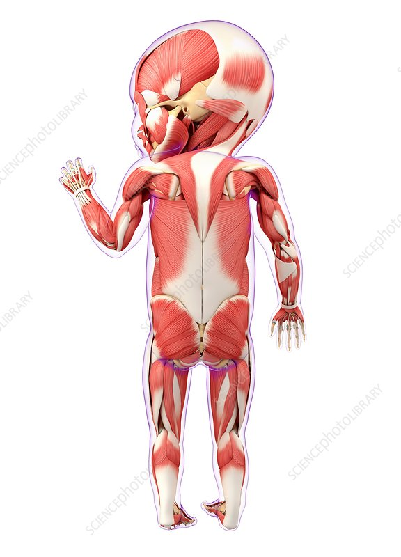 Baby's muscular system, artwork