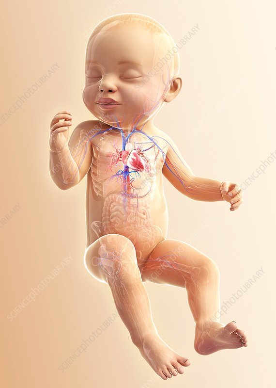 Baby's respiratory system, artwork