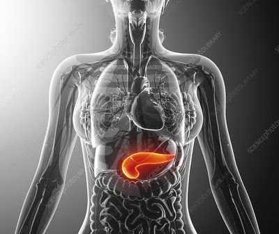 Human pancreas, artwork