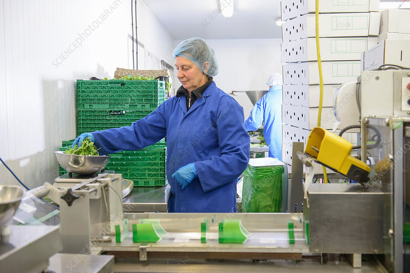 Workers weighing salad leaves