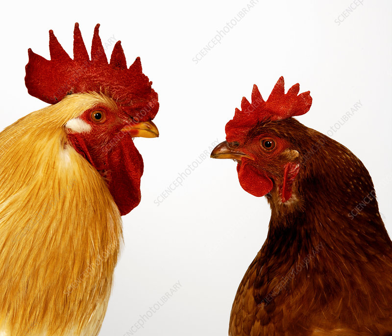 Hen and cockerel